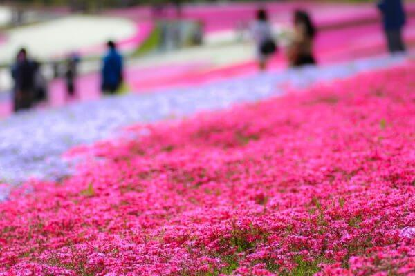 芝桜の名所4選!【関西編】見ごろはいつごろ
