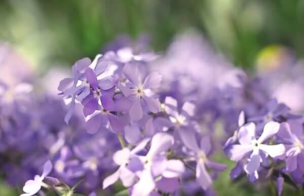 芝桜の名所3選! 【九州編】見ごろはいつごろ