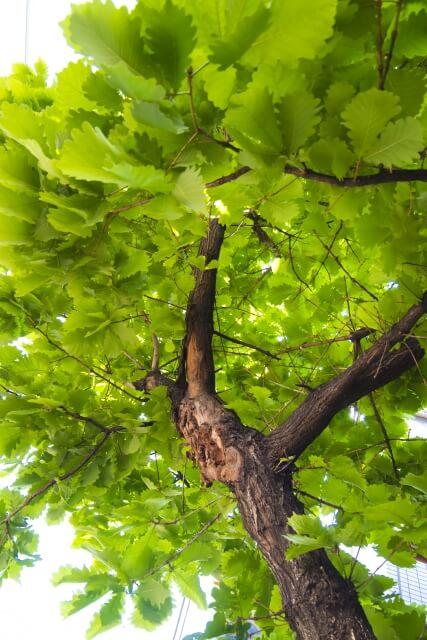 柏餅の葉っぱがくっつかない方法【作り方】【食べ方】
