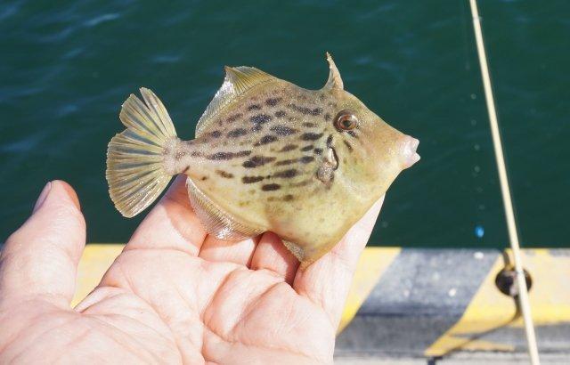 神奈川県でカワハギがよく釣れる堤防はここ!
